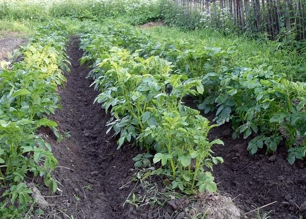 Огород, возделанный методом гряд